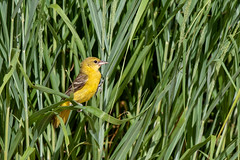 Orchard Oriole (Nature as Art Photography) Tags: blackwaternationalwildliferefuge cambridge birds maryland