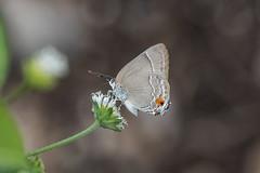 Theclopsis mycon (fabriciodo2) Tags: theclopsismycon papillon nature mexique yucatan sigma150