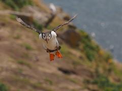 Puffin, Skomer (malithewildcat) Tags: animal puffin skomer wales bird marloes unitedkingdom natures lens
