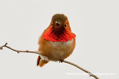 Allen's Hummingbird (Selasphorus sasin), orange-rumped adult male DSC_8750 (fotosynthesys) Tags: allenshummingbird selasphorussasin hummingbird trochilidae bird california unitedstates