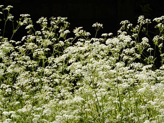 Cow parsley, sunlight