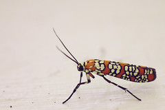Ailanthus Webworm Moth (Heather Bean VT) Tags: moth orangemoth orange white ailanthuswebworm webworm insect nature naturephotography macro macrophotography