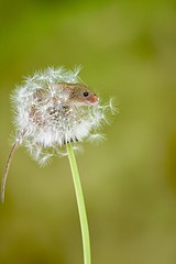 Harvest mouse (victorhobson55) Tags: alanheeley macrolens decline naturephotography 105sigma nature majestic dandelionseedhead nikon d7200 cute beautiful harvestmouse