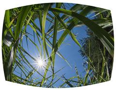 Splendor in the Grass (Explored) (lclower19) Tags: fisheye grass sunburst sky 522018 2852 explored