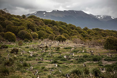 Magellanic penguins colony, Ushuaia, Argentina (pas le matin) Tags: penguin manchot magellanicpenguin manchotdemagellan animal bird oiseau travel voyage world landscape paysage ushuaia argentine argentina southamerica patagonie patagonia terredefeu tierradelfuego mountains colony canon 5d 5dmkiii eos5dmkiii canoneos5dmkiii