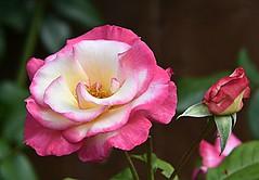 """Weekend Rose  """"Handel"""" (Eleanor (No multiple invites please)) Tags: rose pinkrose handel garden stanmore uk nikond7200 july2018"""