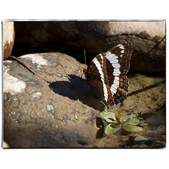 Butterfly by a puddle. #photography #photooftheday #photoadaychallenge #canon7d #sigma150600 #butterfly #nature #opcmag #project365 #yyc #calgary (PSKornak) Tags: photography photooftheday photoadaychallenge canon7d sigma150600 butterfly nature opcmag project365 yyc calgary