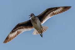 Willet buzzing me (Kevin Fox D500) Tags: willet flight flying bird birding birdwatching birds oceancitynewjersey oceancity nature nikond500 nikon newjersey sigma150600sport sigma