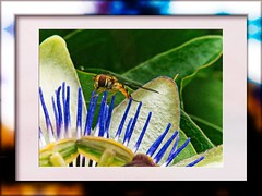wasp on passion flower (Mallybee) Tags: macro f35 135mm jena zeiss carl czj dcg9 g9 lumix panasonic mallybee wasp passionflower insect flower