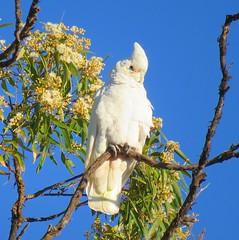 Cacatua sanguinea 2 (barryaceae) Tags: manning point nsw australia ausbird ausbirds little corella cacatua sanguinea