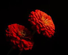 Orange Red Zinnia Pair 1007 (Tjerger) Tags: nature flower blooms blooming plant natural flora floral blackbackground portrait beautiful beauty black orange fall wisconsin macro closeup yellow red pair two duo couple flpwersbloom