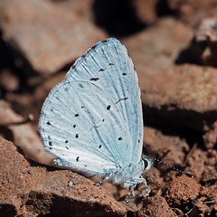 holly blue (Explore) (DODO 1959) Tags: wildlife hollyblue nature butterfly insects macro animal outdoor fauna canal forestfarm cardiff wales omdem1mk2 olympus 300mmf4 x14 micro43