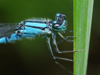 Botanical Bluet Damselfly