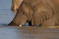 Cooling down (leendert3) Tags: leonmolenaar southafrica krugernationalpark wildlife nature mammals africanelephant