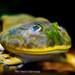 Budgett's Frog (Lepidobatrachus laevis) of Enoshima Aquarium, Fujisawa : バジェットガエル(藤沢市・新江ノ島水族館)
