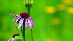 Purple Coneflower (Echinacea purpurea), Hartley Nature Center - Duluth MN USA, 07/22/18 (TonyM1956) Tags: elements sonyalphadslr purpleconeflower echinaceapurpurea hartleynaturecenter duluth minnesota tonymitchell stlouiscounty nature sonyphotographing