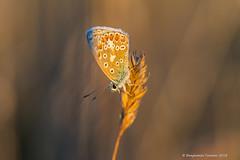 Common Blue - Polyommatus icarus (frattonparker) Tags: btonner bokeh butterfly depthoffield farfalle isleofwight lightroom6 macro mariposa meadow nikkor105mmafsmicrof28ged nikond810 papilon prime raw schmetterling summer frattonparker
