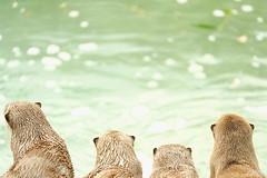 みず が すき (atacamaki) Tags: xt2 50140 xf f28 rlmoiswr fujifilm jpeg撮って出し atacamaki ロンドン動物園 londonzoo zoo london uk otter カワウソ コツメカワウソ back water 動物園 westminster zsl animal cute うしろあたま コミミ aonyx cinerea aonyxcinerea smallclawed cotsume