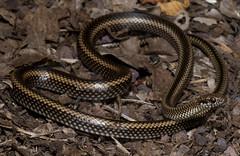 Galapagos Snake (Alsophis dorsalis dorsalis) (Gus McNab) Tags: ecuador galapagos galapagossnake alsophisdorsalisdorsalis alsophisdorsalis