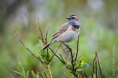 Bluethroat (karenmelody) Tags: animal animals bird birds bluethroat lusciniasvecica muscicapidae passeriformes vertebrate vertebrates passerine passerines perchingbirds