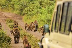 Tanzania14 (Massimo Equestre'pictures) Tags: africa tanzania leone zebra safari giraffa serengeti