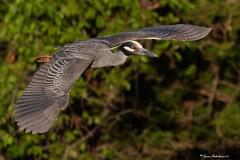 YCNHflight2a (lfalterbauer) Tags: oceancity canon 7dmarkii nature wildlife cornell lab ornithology avian lightroom adobe bokeh rookery bay wetlands ocean bridge flight yellowcrownednightheron nyctanassaviolacea