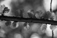 *** (pszcz9) Tags: przyroda nature natura naturaleza gałąź branch liść leaf drzewo tree zbliżenie closeup bokeh bw blackandwhite monochrome czarnobiałe beautifulearth sony a77