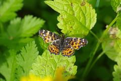 Landkärtchen (Aah-Yeah) Tags: landkärtchen map butterfly araschnia levana schmetterling tagfalter achental chiemgau bayern