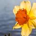 Charles River Daffodils