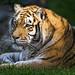 Tiger head in the sun