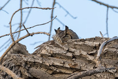 Great Horned Owl mama weathering the wind