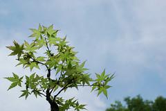 Acer palmatum (¨Weston¨) Tags: acerpalmatum japanesemaple sky tree leaf leaves foliage