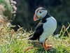 JWL6276  Puffin.. (jefflack Wildlife&Nature) Tags: puffin puffins auks birds avian animal animals wildlife wildbirds seabirds seashore countryside coastalbirds treshnish lunga nature