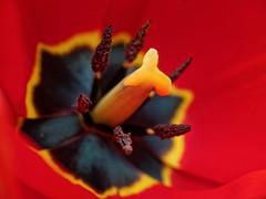 inside a tulip (zdm69) Tags: zdm69 olympus omd em1 raynox dcr250 closeup nahaufnahme macro makro flower tulip tulpe frühling 2018 spring cmwdred