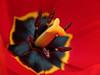 inside a tulip (zdm69) Tags: zdm69 olympus omd em1 raynox dcr250 closeup nahaufnahme macro makro flower tulip tulpe frühling 2018 spring