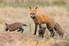 Mama Red Fox brings back some food (TonysTakes) Tags: fox redfox kit foxkit weldcounty wildlife colorado coloradowildlife