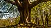 Trunk of a Old Chestnut (L I C H T B I L D E R) Tags: tree stamm baumstamm trunk trunkofatree kastanie chestnut stadtwald köln cologne oldtree natur nature forest frühling spring ngc