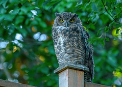 Great Horned Owl - Backyard (Photos_By George) Tags: bird owl backyard greathornedowl raptor birdofprey