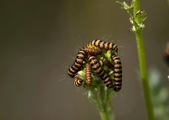 Caterpillar get-together (Jaedde & Sis) Tags: larver many gathering stripes macro caterpillar thirds dof tyriajacobaeae cinnabar moth friendlychallenges challengeyouwinner gamewinner challengegamewinner gamex2