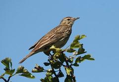 Tree Pipit - Prestbury Hill (glostopcat) Tags: treepipit pipit bird songbird glos prestburyhillnaturereserve summer june