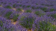 lavande (b.four) Tags: lavande lavanda lavender plateaudevalensole alpesdehauteprovence