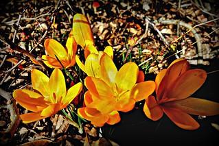 Blumen, Blüten - flowers and blossoms, effect- serie , Krokus ,    74347/10296