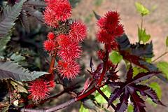 Natural is Art (Anavicor) Tags: ricino inflorescencia hoja leaf ricinus castoroilplant nikon d5300 tamron anavicor anavillar villarcorreroana flor