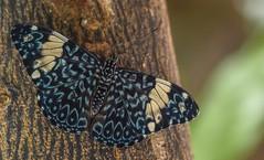 Hamadryas amphinome (Torok_Bea) Tags: hamadryasamphinome lepke pillangó beautiful blue sigma sigma105 butterfly macro animals hamadryas nikon nikond7200 d7200 insecta vörhenyescsattinka