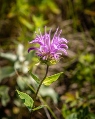 Bergamot (apmckinlay) Tags: bergamot flowers nature plants