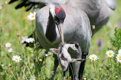 Crane with Shelduck chick June 2018 (jgsnow) Tags: purple bird crane food prey shelduckchick