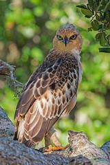 Sri Lanka '17_2018 (Jimmy Vangenechten 76) Tags: geo:lat=617362211 geo:lon=8121016449 geotagged srilanka ceylon asia azië indianocean indische oceaanwildlifeanimalbirddiervogelbundala national parkchangeable hawkeaglecrested hawkeaglenisaetus cirrhatusindische kuifarend