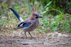 Jay (Photography - KG's) Tags: jay rspb wildlife nature bird birds animals brandonmarsh reserve