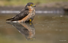 Sparrowhawk (Jongejan) Tags: jongejanphotovogels sparrowhawk sperwer bird animal wildlife outdoor nature water bath hot