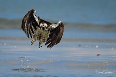 Intensity (craig goettsch) Tags: sanibel2018 osprey bird avian nature wildlife animals florida beach nikon d850